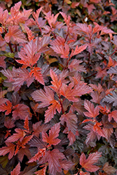 Coppertina® Ninebark (Physocarpus opulifolius 'Mindia') at Highland Avenue Greenhouse