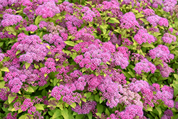 Magic Carpet Spirea (Spiraea x bumalda 'Magic Carpet') at Highland Avenue Greenhouse