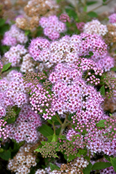 Little Princess Spirea (Spiraea japonica 'Little Princess') at Highland Avenue Greenhouse