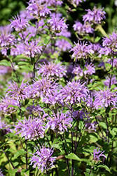 Blue Stocking Beebalm (Monarda didyma 'Blue Stocking') at Highland Avenue Greenhouse