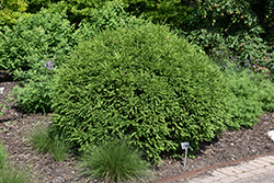 Green Gem Boxwood (Buxus 'Green Gem') at Highland Avenue Greenhouse