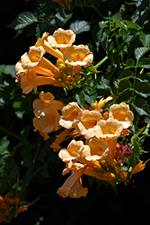 Yellow Trumpetvine (Campsis radicans 'Flava') at Highland Avenue Greenhouse