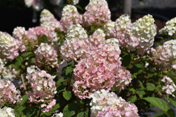 Strawberry Sundae® Hydrangea (Hydrangea paniculata 'Rensun') at Highland Avenue Greenhouse