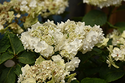 Wedding Gown Hydrangea (Hydrangea macrophylla 'Wedding Gown') at Highland Avenue Greenhouse
