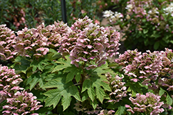 Oakleaf Hydrangea (Hydrangea quercifolia) at Highland Avenue Greenhouse