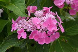 Let's Dance® Starlight Hydrangea (Hydrangea macrophylla 'Lynn') at Highland Avenue Greenhouse