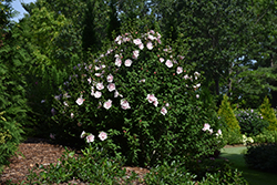 Pink Chiffon® Rose of Sharon (Hibiscus syriacus 'JWNWOOD4') at Highland Avenue Greenhouse