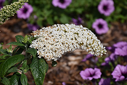 Pugster® White Butterfly Bush (Buddleia 'SMNBDW') at Highland Avenue Greenhouse