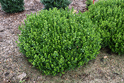 Sprinter® Boxwood (Buxus microphylla 'Bulthouse') at Highland Avenue Greenhouse