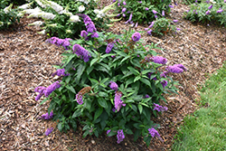 Pugster® Periwinkle Butterfly Bush (Buddleia 'SMNBDO') at Highland Avenue Greenhouse