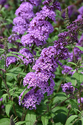 Peacock™ Butterfly Bush (Buddleia davidii 'Peakeep') at Highland Avenue Greenhouse