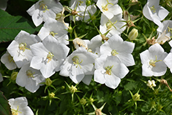 White Clips Bellflower (Campanula carpatica 'White Clips') at Highland Avenue Greenhouse