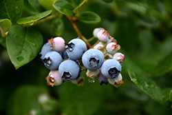 Elliott Blueberry (Vaccinium corymbosum 'Elliott') at Highland Avenue Greenhouse