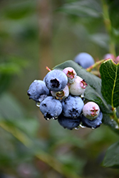 Chippewa Blueberry (Vaccinium 'Chippewa') at Highland Avenue Greenhouse