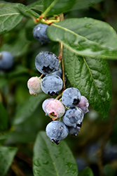 Blue Jay Blueberry (Vaccinium corymbosum 'Blue Jay') at Highland Avenue Greenhouse
