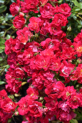 Red Drift® Rose (Rosa 'Meigalpio') at Highland Avenue Greenhouse
