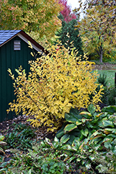 Vernal Witchhazel (Hamamelis vernalis) at Highland Avenue Greenhouse