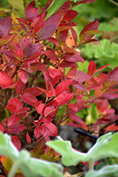 Jelly Bean® Blueberry (Vaccinium 'ZF06-179') at Highland Avenue Greenhouse