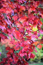 Red Maple (Acer rubrum) at Highland Avenue Greenhouse