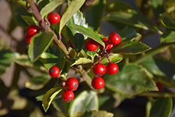 Honey Maid Meserve Holly (Ilex x meserveae 'Honey Maid') at Highland Avenue Greenhouse