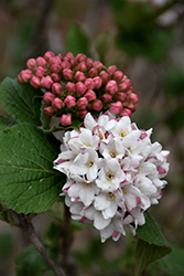 Spice Island Koreanspice Viburnum (Viburnum carlesii 'Select A') at Highland Avenue Greenhouse
