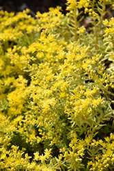 Lemon Ball Stonecrop (Sedum rupestre 'Lemon Ball') at Highland Avenue Greenhouse