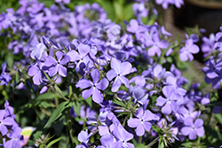 Blue Moon Phlox (Phlox divaricata 'Blue Moon') at Highland Avenue Greenhouse