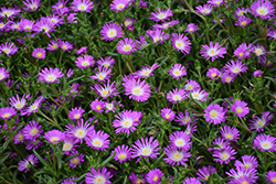 Wheels of Wonder™ Violet Wonder Ice Plant (Delosperma 'WOWDRW5') at Highland Avenue Greenhouse
