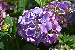 L.A. Dreamin'® Hydrangea (Hydrangea macrophylla 'Lindsey Anne') at Highland Avenue Greenhouse