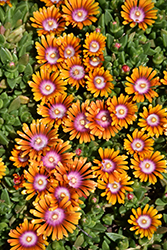 Fire Spinner Ice Plant (Delosperma 'Fire Spinner') at Highland Avenue Greenhouse