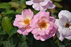 Peachy Knock Out® Rose (Rosa 'Peachy Knock Out') at Highland Avenue Greenhouse