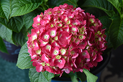 Summer Crush® Hydrangea (Hydrangea macrophylla 'Bailmacfive') at Highland Avenue Greenhouse
