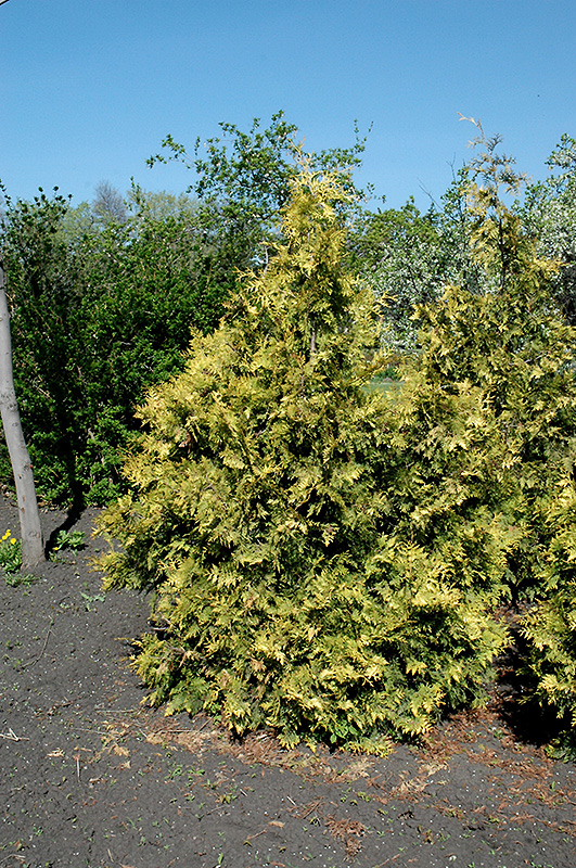 Sudworth Gold Arborvitae (Thuja occidentalis 'Sudworthii') at Highland Avenue Greenhouse