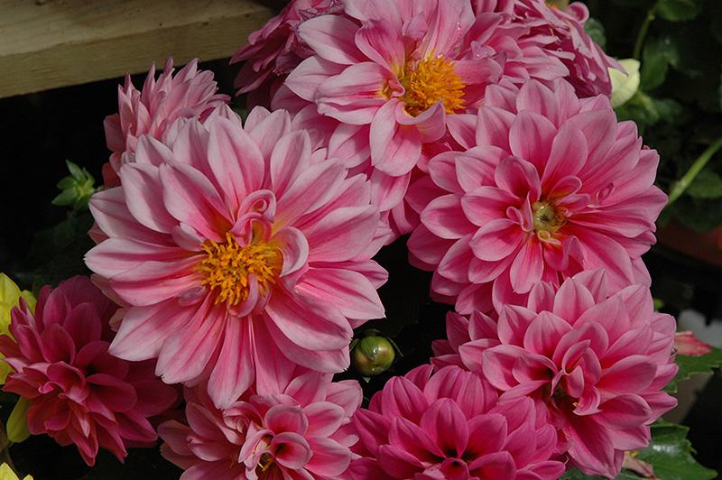 Dahlinova Hypnotica Pink Dahlia (Dahlia 'Hypnotica Pink') at Highland Avenue Greenhouse