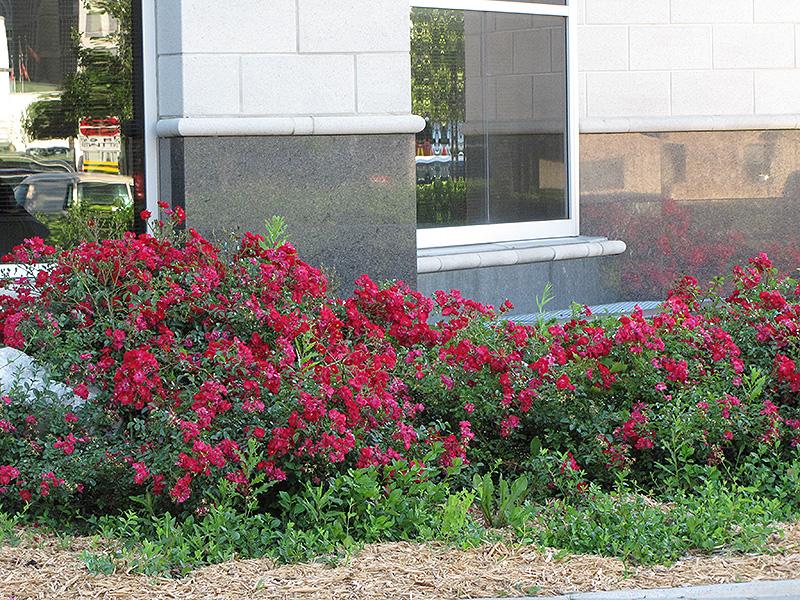 Flower Carpet Red Rose (Rosa 'Flower Carpet Red') at Highland Avenue Greenhouse