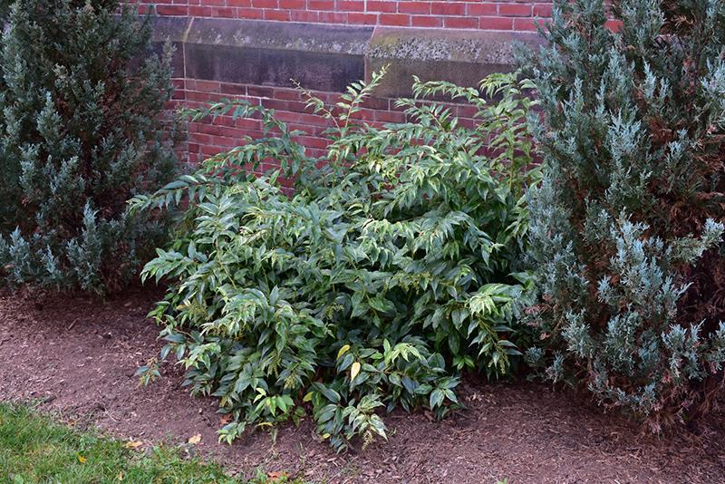 Rainbow Fetterbush (Leucothoe fontanesiana 'Rainbow') at Highland Avenue Greenhouse