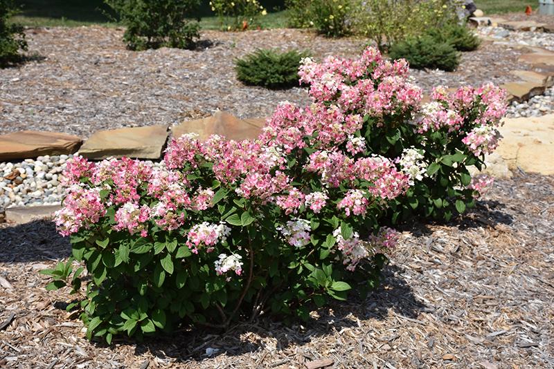 Little Quick Fire Hydrangea (Hydrangea paniculata 'SMHPLQF') at Highland Avenue Greenhouse