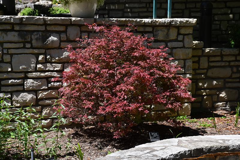 Shaina Japanese Maple (Acer palmatum 'Shaina') at Highland Avenue Greenhouse