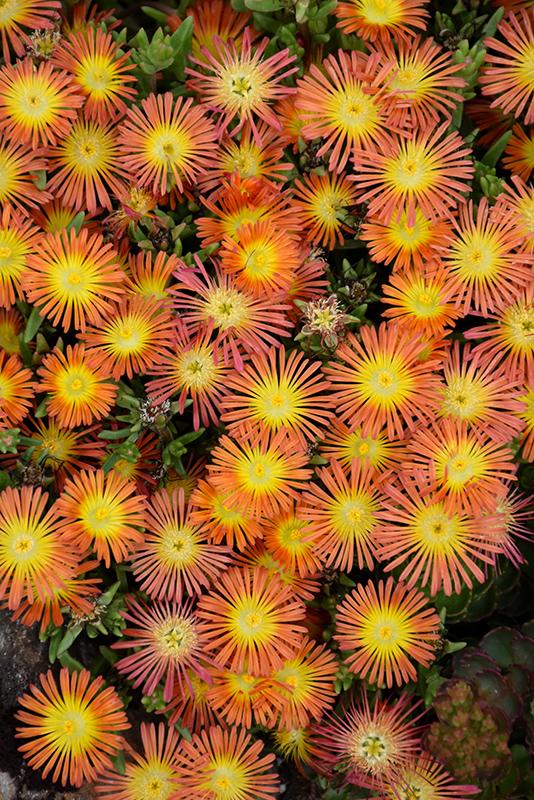 Wheels of Wonder Orange Wonder Ice Plant (Delosperma 'WOWDOY3') at Highland Avenue Greenhouse
